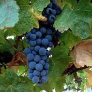 zinfandel-ripe-with-raisins.jpg